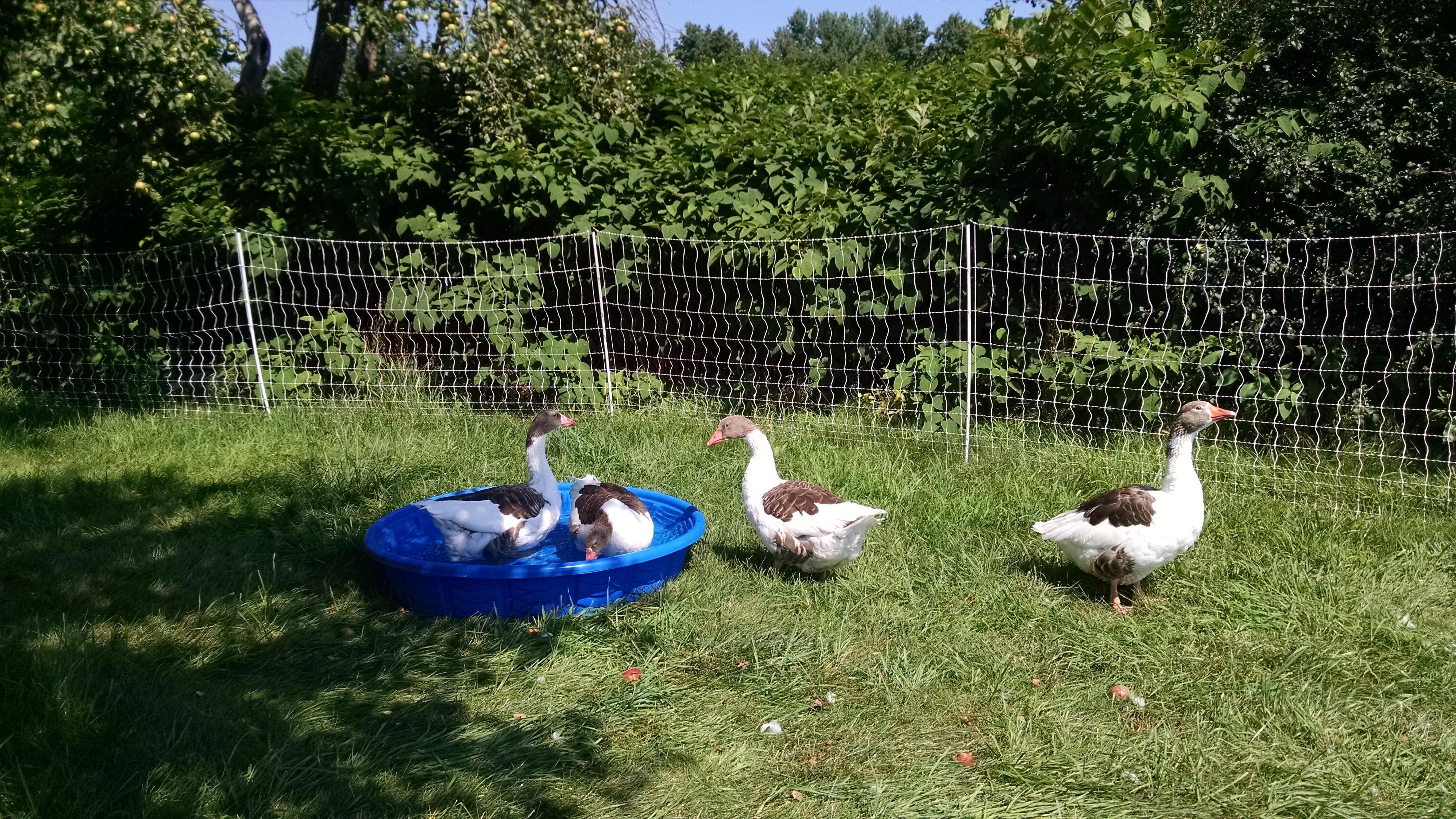 geese_new_paddock_alone_web